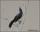 5823 Great-tailed Grackle.jpg