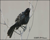 5825 Great-tailed Grackle.jpg
