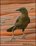 5840 Great-tailed Grackle female.jpg