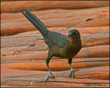 5843 Great-tailed Grackle female.jpg