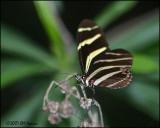 5854 Zebra Longwing.jpg