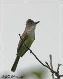 5860 Brown-crested Flycatcher.jpg