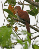 5878 Squirrel Cuckoo.jpg