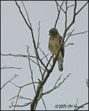 5898 Roadside Hawk.jpg