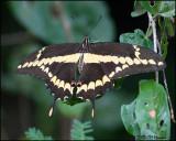 5919 Giant Swallowtail