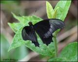 5929 Butterfly id.jpg