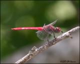 6038 Roseate Skimmer (red phase)