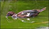 6062 Muscovy Duck.jpg