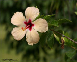 6090 Hibiscus.jpg