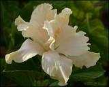 6107 Double White Hibiscus.jpg