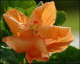 6115 Orange Hibiscus.jpg