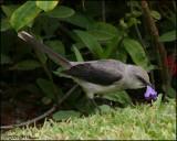 6127 Tropical Mockingbird.jpg