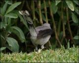 6135 Tropical Mockingbird undertail.jpg