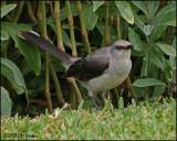 6141 Tropical Mockingbird.jpg