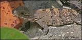 6179 Brown Basilisk female