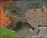 6180 Brown Basilisk female