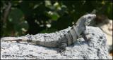 6193 Black Iguana