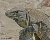 6206 Black Iguana