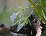 6256 Orchid (genus Brassavola?)