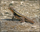 6264 Yucatan Spiny lizard male