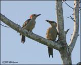 6304 Golden-fronted Woodpecker (Yucatan).jpg