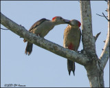 6306 Golden-fronted Woodpecker female feeding juvenile.jpg