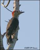 6317 Golden-fronted Woodpecker.jpg
