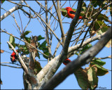6325 Scarlet Tanagers.jpg