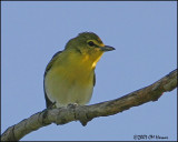 6331 Yellow-throated Vireo.jpg