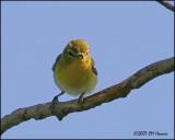 6333 Yellow-throated Vireo.jpg