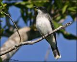 6342 Eastern Kingbird.jpg
