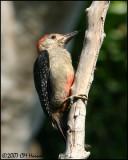 6384 Golden-fronted Woodpecker.jpg
