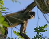 6428 Yucatan Spider Monkey.jpg