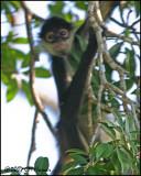 6431 Yucatan Spider Monkey.jpg
