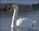5536 Mute Swan.jpg