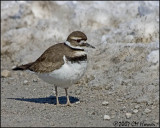 5606 Killdeer.jpg