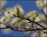 6611 Spring Blossoms.jpg