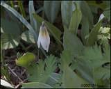6810 White Trout Lily.jpg