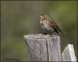 7306 Vesper Sparrow.jpg
