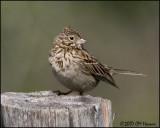 7313 Vesper Sparrow.jpg