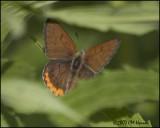 7694 Bronze Copper male.jpg