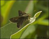 7804 Skipper species.jpg