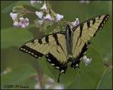 7815 Canadian Tiger Swallowtail.jpg