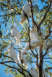 Corellas, Cattle Creek, Diamantina Gates National Park u002838