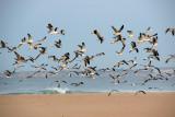 Gaivotas do Algarve