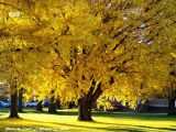 Healing Light  Under the Gingko Trees.