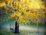 Healing Light Gingko.
