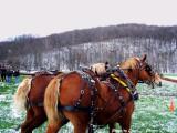 Laughing Draft Horses WV.