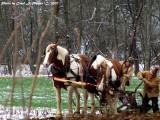 Shire Horse Team WV.