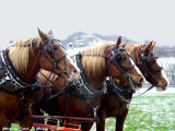 Working Draft Horses, WV.